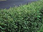 Вьющиеся быстрорастущие растения – привлекательный декор для забора