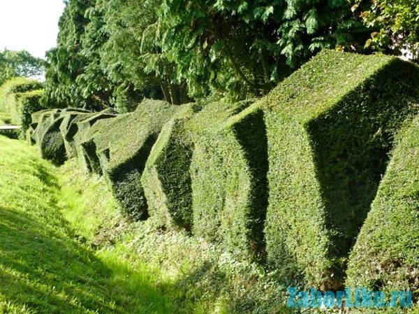Забор из вьющиеся растения
